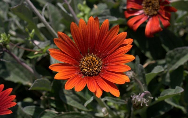 цветок арктотис посадка и уход