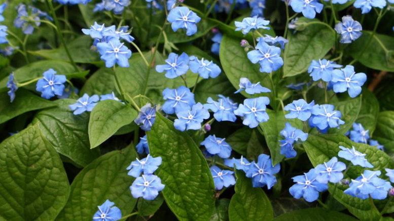 Цветок пупочник фото