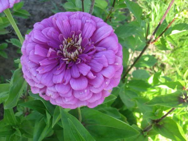 Цветы цинния посадка и уход фото Цинния Лаванда фото