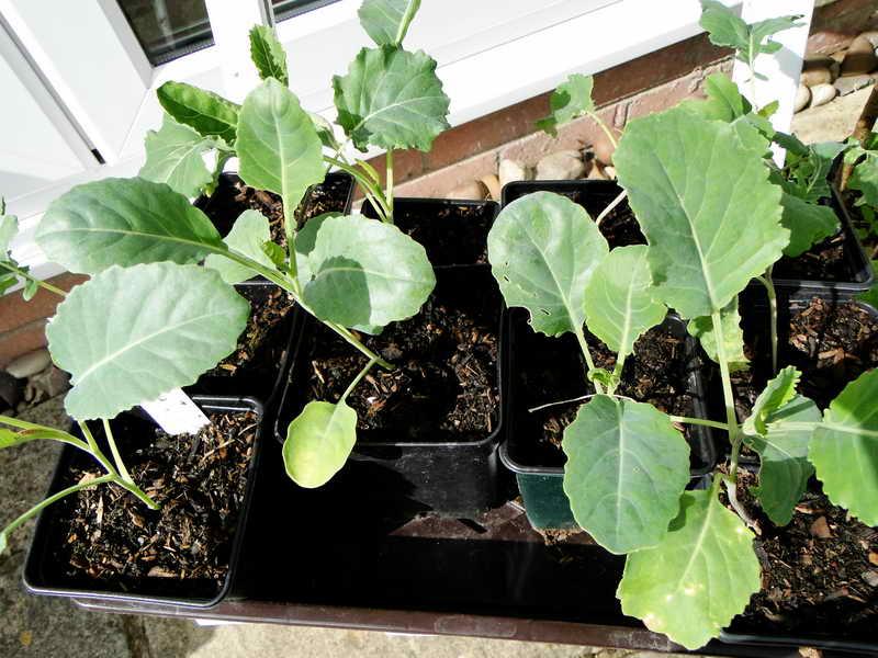 Капуста выращивание и уход Фото Видео Рассада из семян Посадка в открытый грунт, уход